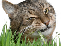 cat grass eating